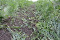 Forgókapás kultivátor bio gazdaságokban